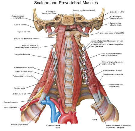 Scalene Muscles... Scalene Muscles
